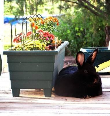 American Sable Rabbits
