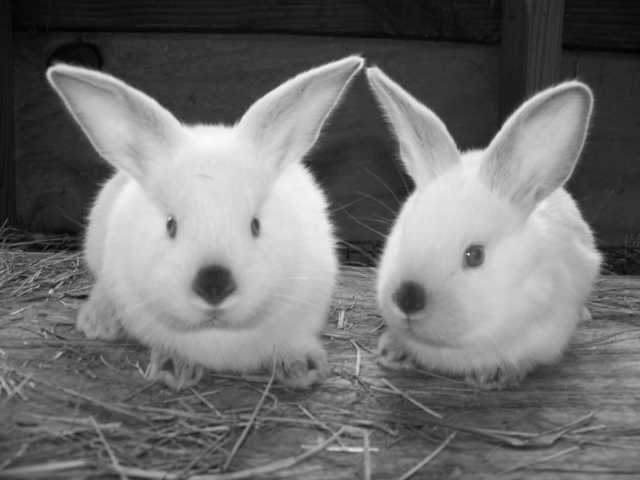 Californian Rabbits